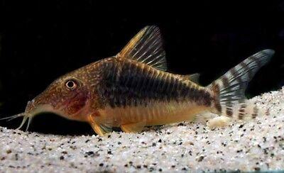 Apprensivo Corydoras Seussi (raro Pesce Gatto)- Rinvigorire Efficacemente La Salute