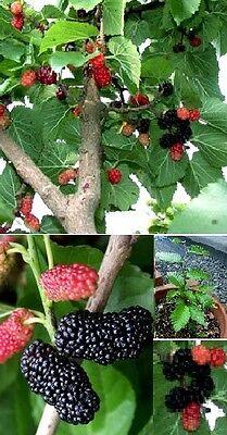 Schwarzer Maulbeerbaum Exclusive Früchte und Holz