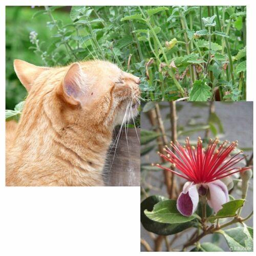 das exzellente Kräuter und Blüten-Duo. Samen-Set.Katzenminze und Ananas-Guave