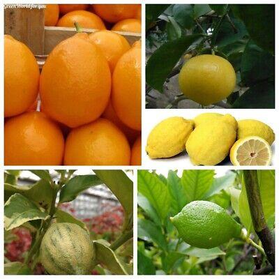 USA-Seller 10Pcs Organic lemon tree seeds for garden bonsai California 2020
