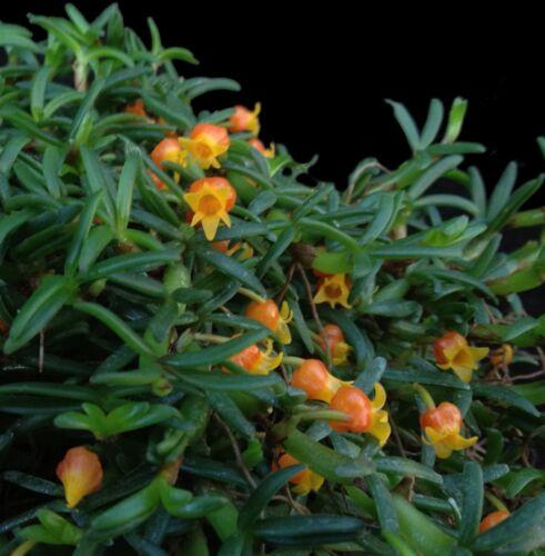 Mediocalcar decoratum/_/_MINIATURE/_/_orange flowers DWARF species EASY orchid fun