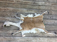 NICE AFRICA Bush Duiker SALTED LIFESIZE SKIN for a Full TAXIDERMY MOUNT no Horns