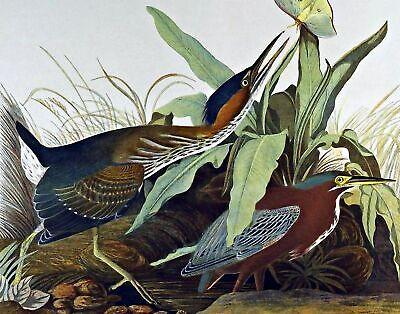 Green Heron by John James Audubon Bird Art Repro Made in U.S.A Giclee Prints