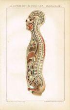 Farbtafel ANATOMIE: KÖRPER DES MENSCHEN Original-Lithographie 1894