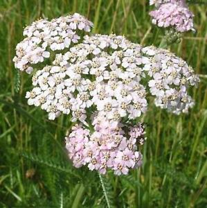 Yarrow-500-seeds-insect-repellent-and-compost-activator-flower-Herb-garden