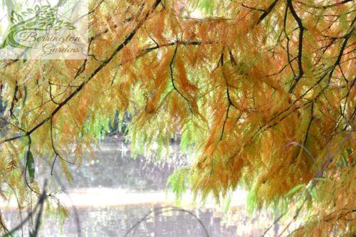 ☆Dawn Redwood tree seeds 2g UK Stock Metasequoia glyptostroboides 500 seeds
