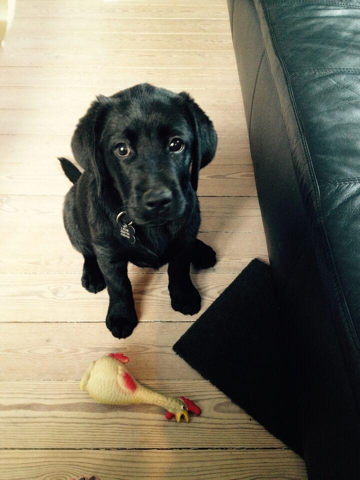 Labrador sort tilbydes til parring