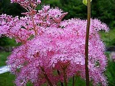 Filipendula rubra (Queen of the Prairie) x 20 seeds. Perennial show-stopper.