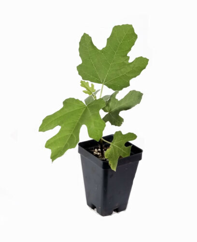 Live Plant Self Fertile Very Cold Hardy Chicago Hardy Fig Tree