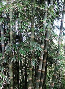 Aimable Seedeo ® Calcutta Bambou Dendrocalamus Strictus 60 Graines-afficher Le Titre D'origine Facile Et Simple à Manipuler