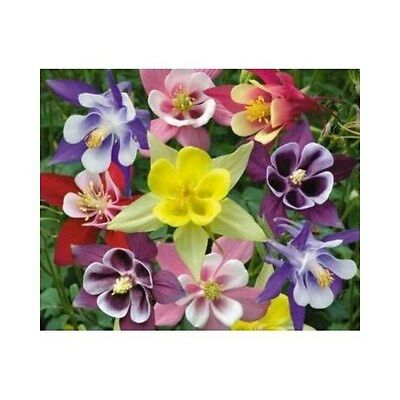 PERENNIAL FLOWER AQUILEGIA COLUMBINE McKANAS GIANT MIX 0.75 GRAM
