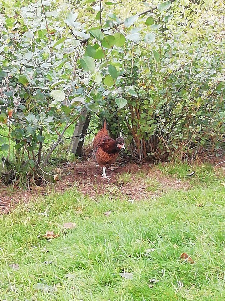 Kyllinger, 4 stk.