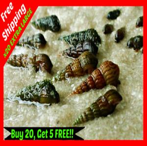 20-XL-LIVE-MALAYSIAN-TRUMPET-MTS-Freshwater-Aquarium-Pond-Feeder-Snails-Pets