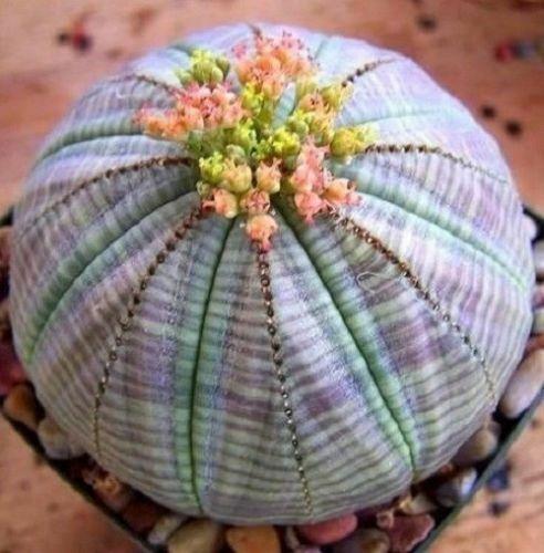 Euphorbia obesa Cactus Succulent Live Plant