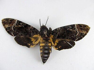 Dead Head Moth FOLDED Butterfly A- Taxidermy REAL Acherontia lachesis