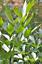 100//1000 Seeds Lovage Levisticum Officinalis Herb Aromatic Perennial Salad