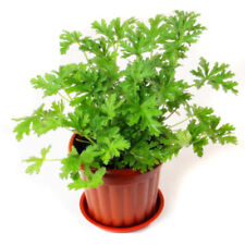 Citronella Plant Seeds Mozzie Buster Mosquito Repellent Home