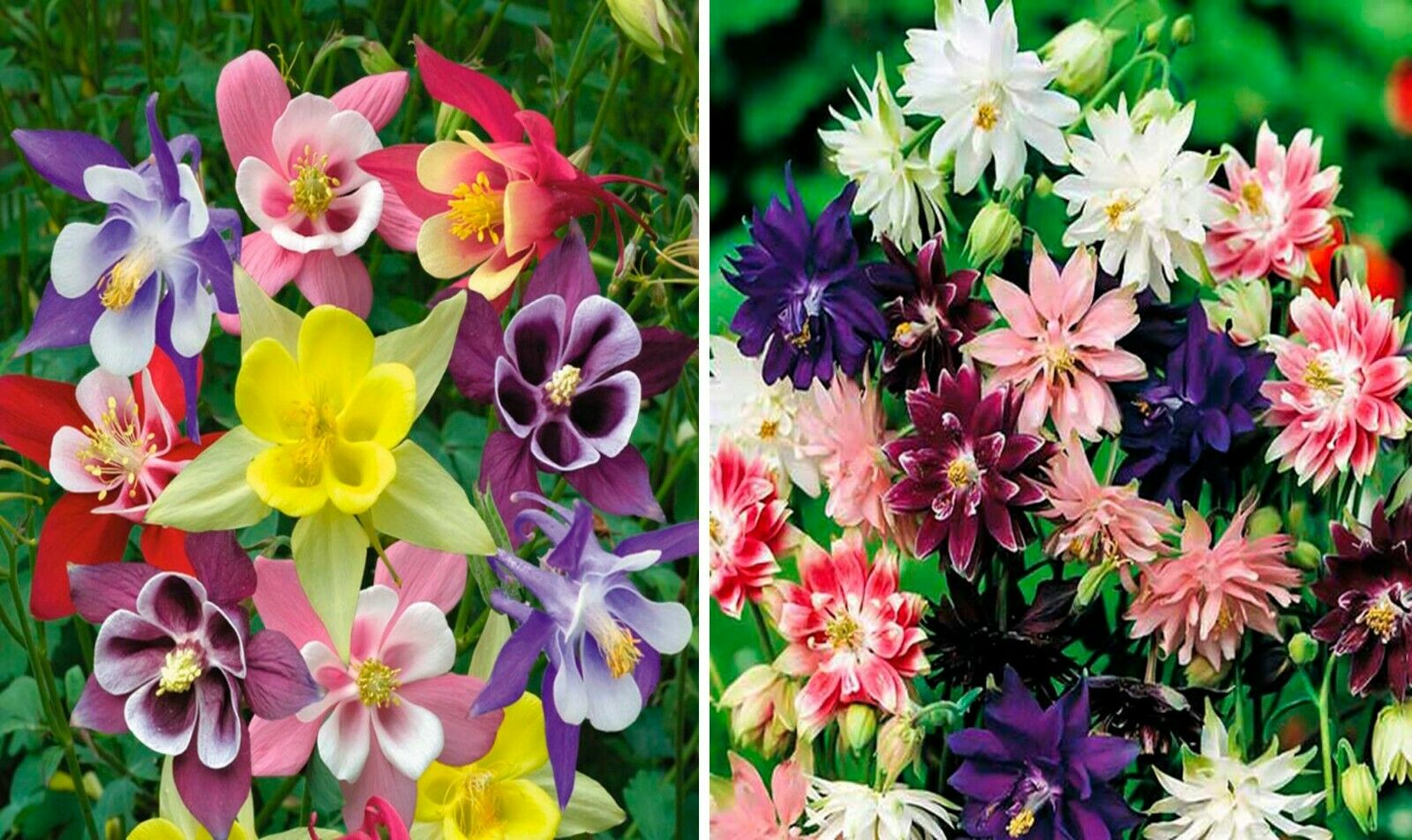 Seeds Columbine Granny's Bonnet Aquilegia Double Mix Flower Perennial Ukraine