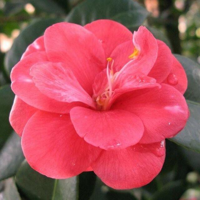 Camellia japonica 'Lady Campbell' - Camélia d'hiver rose