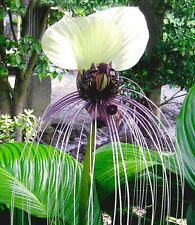 WHITE BAT PLANT (Tacca nivea) 10 seeds