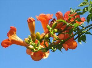 Exotique Jardin Plante Graines dureté rankpflanze trompetenbaum-Orange  </span>