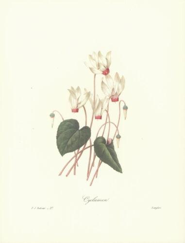 REDOUTE Botanical CYCLAMEN Flower VINTAGE Art Print #27 NOT A COLOR COPY!!