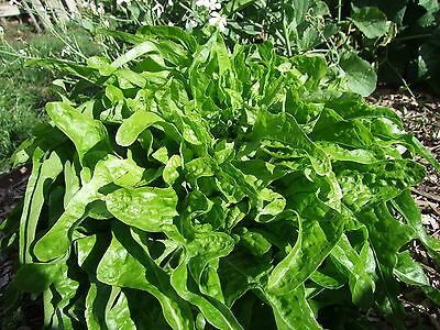 Lettuce Seed: Royal oakleaf (500 Seeds)-Organic Heirloom by Life-Force Seeds