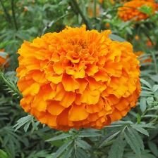 50 Flower Seeds Of Each Pack Orange Aztec Marigold Seeds Tagete Erecta A004 Hot
