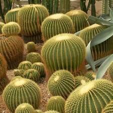 Echinocactus grusonii - 20 seeds - Mother in Law Cushion