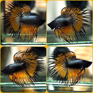 Live Betta Fish BLACK COPPER MUSTARD BLACK BANDING Crowntail CT Male #135