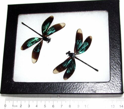 TWO REAL FRAMED GREEN BLACK DAMSELFLIES DRAGONFLIES CALOPTERYX VIRGO