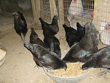 12+ Ayam Cemani Hatching Eggs