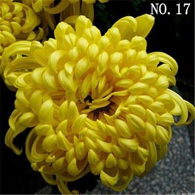 Big Chrysanthemum seed  countryard balcony decoration 30 seeds NO.17