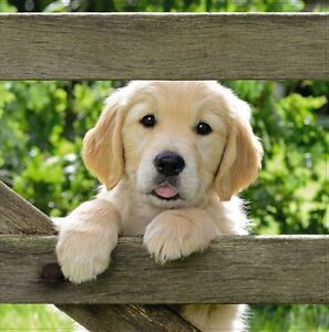 Greetings-Card-Blank-034-Labrador-Puppy-034-Square-Size-6-25-034-x-6-25-034-Q23-42329