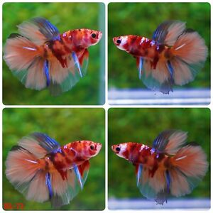 BL-73 Live Betta Fish High Quality Halfmoon HM Male Nemo Candy Galaxy Koi