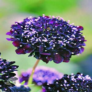 PINCUSHION-DOUBLE-FLOWER-SEEDS-MIXED-COLOURS-SCABIOSA-50-SEED-PACK