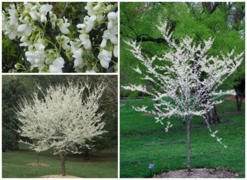 """10 graines de Cercis siliquastrum alba Graines C /""""jude Tree/"""" Blanc"""