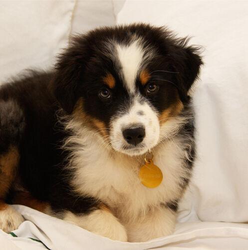 "Airedale//Akita//Alaskan Malamute//Aussie Shepherd Blank 6x6/"" Dog Greeting Card"