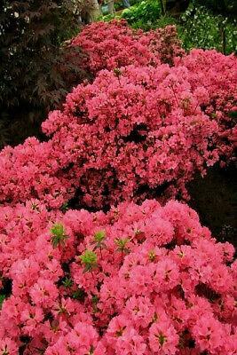 Rhododendron obtusum Japanische Azalee Maraschino 15-20cm