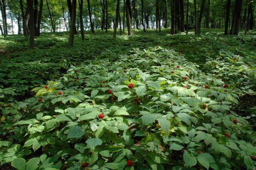 "50 graines Ginseng rouge de Corée//Chine /"" Panax Ginseng /""seeds livraison"