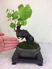 Specimen Collected Shohin Grape Bonsai Tree - Merlot - Fruiting and Flowering!