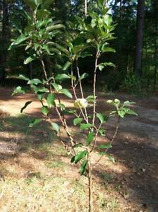 4 6 Ft Live Ein Shemer Apple Fruit Tree 5g Trees Plants Grow Sweet Juicy Apples Ebay