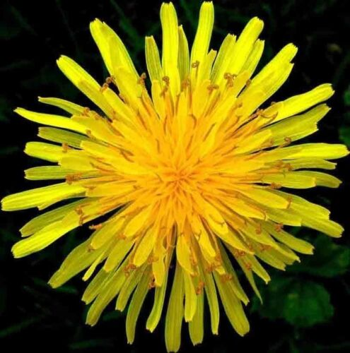 DANDELION SEEDS MICRO-GREENS VEGETABLE HERB SALADS NON-GMO HEIRLOOM BEES 1000