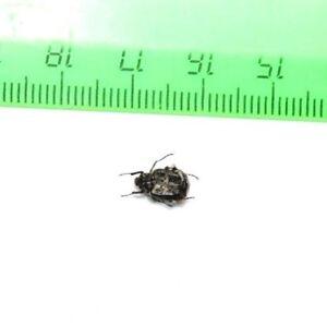 Insect-Beetles-Scarabaeidae-Valgus-koreanus-Primorsky-region-RU