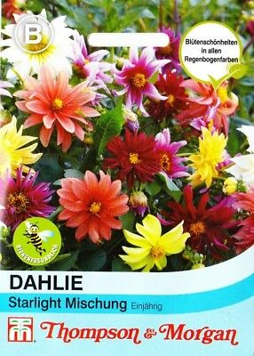 25 Samen 3806 Zwergdahlie Dahlia variabilis Dahlie /'Starlight Mischung/' ca