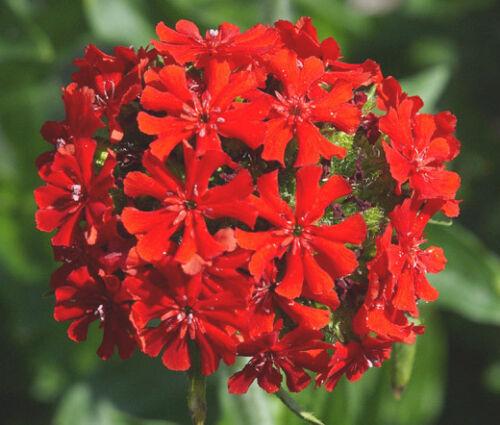 10,000 Bulk Seeds MALTESE CROSS Lychnis Chalcedonica