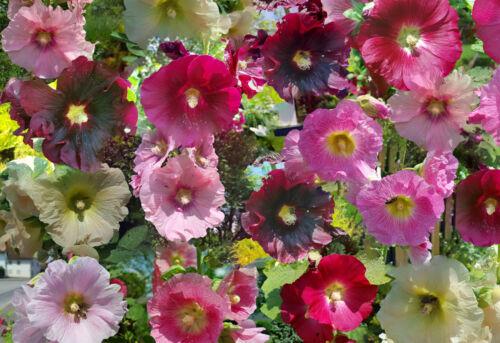 30 Samen Stockrose *Farbenmix* Alcea Rosea