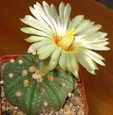 Wunderschöne Zitrone Geblümt Kaktus - Astrophytum - Samen
