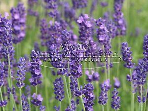 Pianta lavanda angustifolia english lavender piantine for Pianta lavanda in vaso
