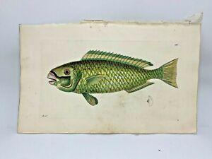 Green-Scarus-Fish-1783-RARE-SHAW-amp-NODDER-Hand-Colored-Copper-Engraving